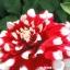ดอกรักเร่แดงขอบขาว Red White spot Dahlia / 10 เมล็ด thumbnail 1