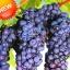 องุ่นดำต้นสูง Black Grape Seeds / 10 เมล็ด thumbnail 1