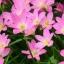 บัวดินสีชมพู 1 หัวเล็ก (ซื้อ 10 หัวแถม 3 หัว) thumbnail 2