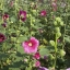 ดอกฮอลลี่ฮ็อค Hollyhock Flower / Mix / 20 เมล็ด thumbnail 5