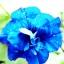 พิทูเนีย สีฟ้า Blue Petunia / 20 เมล็ด thumbnail 2