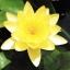 บัวสีฝรั่งดอกเหลือง / 50 เมล็ด thumbnail 1