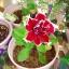 พิทูเนียสีแดงขอบขาว Charming Petunia / 20 เมล็ด thumbnail 2