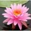 บัวสีชมพู / 50 เมล็ด thumbnail 3