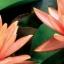 บัวฝรั่งสีส้ม / 50 เมล็ด thumbnail 2