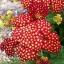 Achillea millefolium Yarrow Sneezewort Paprika mix Flower Bulk Seeds / 20 เมล็ด thumbnail 2