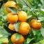 เมล็ดส้ม Orange seeds / 5 เมล็ด thumbnail 2