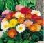 ดอกป๊อปปี้ (คละสี) / 100 เมล็ด thumbnail 1