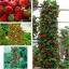 สตรอเบอรี่เลื้อย Climbing Strawberry /30 เมล็ด thumbnail 1