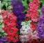 ดอก Delphinium Seeds (คละสี) / 30 เมล็ด thumbnail 1