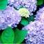 ไฮเดรนเยีย สีฟ้า Hydrangea Blue / 10 เมล็ด thumbnail 1