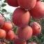 แอปเปิ้ล Apple Seeds /5 เมล็ด thumbnail 2