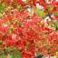 ดอกหางนกยูง / 20 เมล็ด thumbnail 1