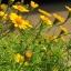 ดอกไธมอฟิลเลีย / 20 เมล็ด thumbnail 2