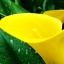 ดอก คอลล่าลิลลี่ สีเหลือง Yellow Calla Lily / 10 เมล็ด thumbnail 3