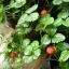 สตรอเบอรี่พันธุ์ ป่า /30 เมล็ด thumbnail 2