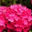 ไฮเดรนเยีย สีแดง Hydrangea Red / 10 เมล็ด thumbnail 2