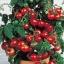 มะเขือเทศเตี้ย ไทนี่ ทิม Tiny Tim Cherry Tomato / 5 เมล็ด thumbnail 1