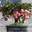 แอปเปิ้ล Apple Seeds /5 เมล็ด thumbnail 3