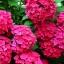 ไฮเดรนเยีย สีแดง Hydrangea Red / 10 เมล็ด thumbnail 1