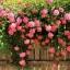 กุหลาบเลื้อยสีชมพู Pink Lady Rose Climbing / 10 เมล็ด thumbnail 1