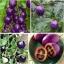 มะเขือเทศสีม่วง Purple Tomato / 10 เมล็ด thumbnail 1