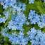 ดอกไชนีส ฟอร์เก็ตมีน็อต Chinese forget me not / 50 เมล็ด thumbnail 3
