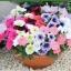 ดอก Petunia Mix Colour / 100 เมล็ด thumbnail 1