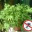 ต้นไม้ไล่ยุง Mosquito Repelling Grass / 5 เมล็ด thumbnail 1