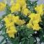 Antirrhinum Floral Showers Yellow ลิ้นมังกร ฟลอรอล ชาวเวอร์ เยลโล่ /50 เมล็ด thumbnail 1