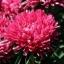 Aster Milady Red Rose แอสเตอร์มิเลดี้ เรด โรส /40 เมล็ด thumbnail 2