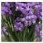 ดอกสแตติสสีม่วง Statice Purple / 20 เมล็ด thumbnail 3