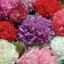ดอกป็อปปี้ดอกซ้อน (คละสี) /20 เมล็ด thumbnail 1
