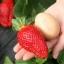 สตรอเบอรี่ Germany Super Big Strawberry /30 เมล็ด thumbnail 2