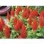 Celosia Plumosa Castle Orange สร้อยไก่ คาสเซิล ออเรนจ์ /40 เมล็ด thumbnail 1