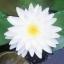 บัวฝรั่งสีขาว / 50 เมล็ด thumbnail 1