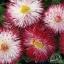 Bellis English Daisy Pink/ 20 เมล็ด thumbnail 2