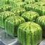แตงโมเหลี่ยม หวาน Watermelon Seeds / 5 เมล็ด thumbnail 2