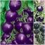 มะเขือเทศสีม่วง Purple Tomato / 10 เมล็ด thumbnail 2