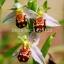ดอกกล้วยไม้ผึ้ง Bee Orchid Flower Seed/ 5 เมล็ด thumbnail 1
