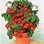 มะเขือเทศเตี้ย ไทนี่ ทิม Tiny Tim Cherry Tomato / 5 เมล็ด thumbnail 3