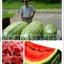 แตงโม North Carolina Giant Watermelon / 5 เมล็ด thumbnail 1