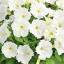 ดอก Petunia (Charming ) / 30 เมล็ด thumbnail 1