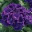 Verbena Globe Blue เวอบีน่า โกลบ บลู / 30 เมล็ด thumbnail 1