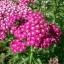 Achillea millefolium Yarrow Sneezewort Paprika mix Flower Bulk Seeds / 20 เมล็ด thumbnail 1