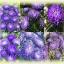 Aster Milady Deep Blue แอสเตอร์ มิเลดี้ ดีพ บลู / 20 เมล็ด thumbnail 3