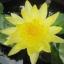 บัวสีฝรั่งดอกเหลือง / 50 เมล็ด thumbnail 2