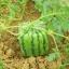 แตงโมเหลี่ยม หวาน Watermelon Seeds / 5 เมล็ด thumbnail 1