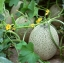 แคนตาลูป Cantaloupe Melon Seeds / 10 เมล็ด thumbnail 1