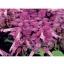 Salvia Splendens Spiky Lavender/ 30 เมล็ด thumbnail 1